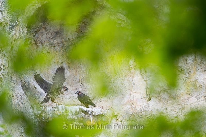 Zwei junge Wanderfalken (Falco peregrinus) kurz vor dem Ausfliegen