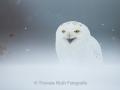 Schnee-Eule (Bubo scandiaca)