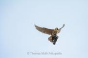 Wanderfalke (Falco peregrinus)