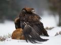 Steinadler mit Rotfuchs