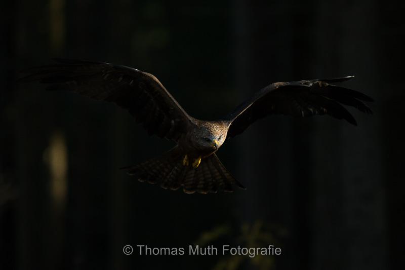 Schwarzmilan (Milvus migrans)