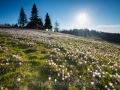 Krokusblüte bei Oberstaufen