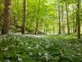 Bärlauch im Auwald