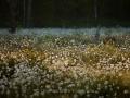 Wollgras (Eriophorum)