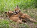 Spielende Fuchswelpen (Vulpes vulpes)