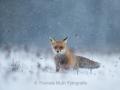 Fuchs im Schneegestöber