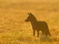 Fuchs (Vulpes vulpes)