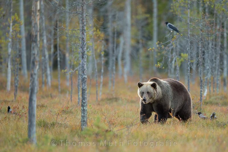 Finnland, nicht nur der Bären wegen